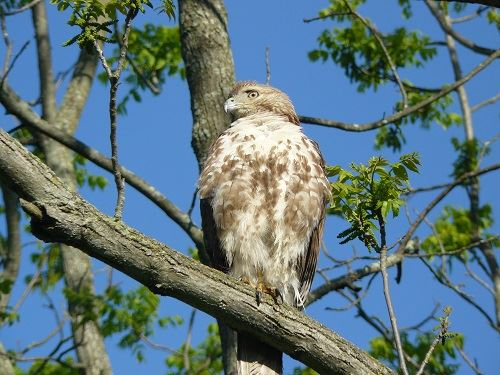 Redtail at NFP
